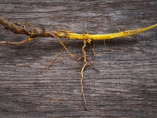 Yellowroot