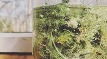 Beautiful Usnea!