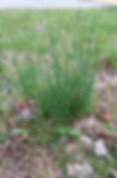 wild-onion-image-dees-nursery.png