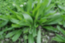 narrow-leaf-plantain.png
