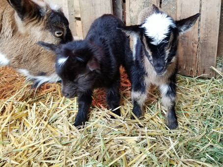 Primrose had her babies early this morning!