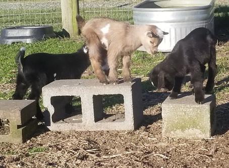 2019 Ocean Bluff Farm Baby Goats