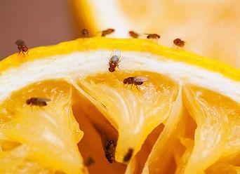 fruit-flies.jpg
