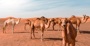 Australia Government is going to kill 10,000 Camels
