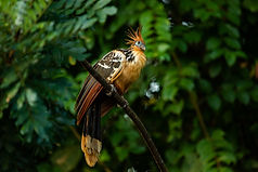 Hoatzin bird resting on a branch in Madidi National Park