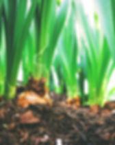 récolte d'oignon