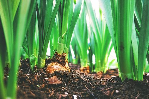 Lot de 6 plants d'Oignons bio
