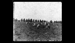 Girls picking strawberries - 1890