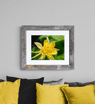 """Yellow Columbine"" Canvas Print"