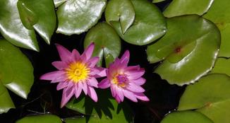 Beautiful Lotus.....Mauritius.