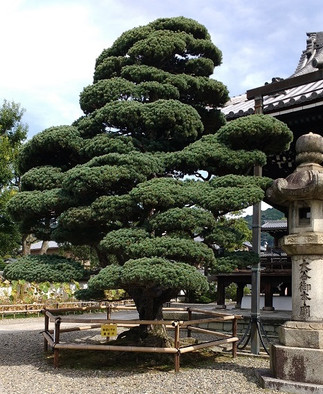 The perfect Tree Pose! Japan.