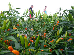 Italian chilli farm