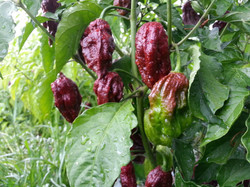 Chocolate Ghost peppers