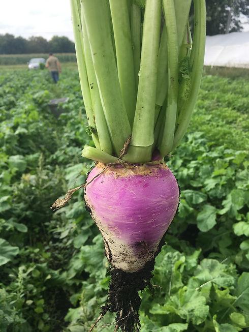 Turnip .jpg