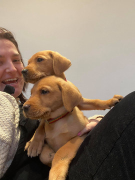 Red Fox Lab pups