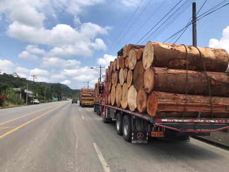 Réquiem por el seique, la madera dura de bosque nativo más explotada en el Ecuador