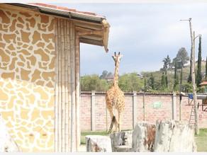 Jirafas e hipopótamos: ¿Por  qué en Ecuador no debemos importar animales exóticos?
