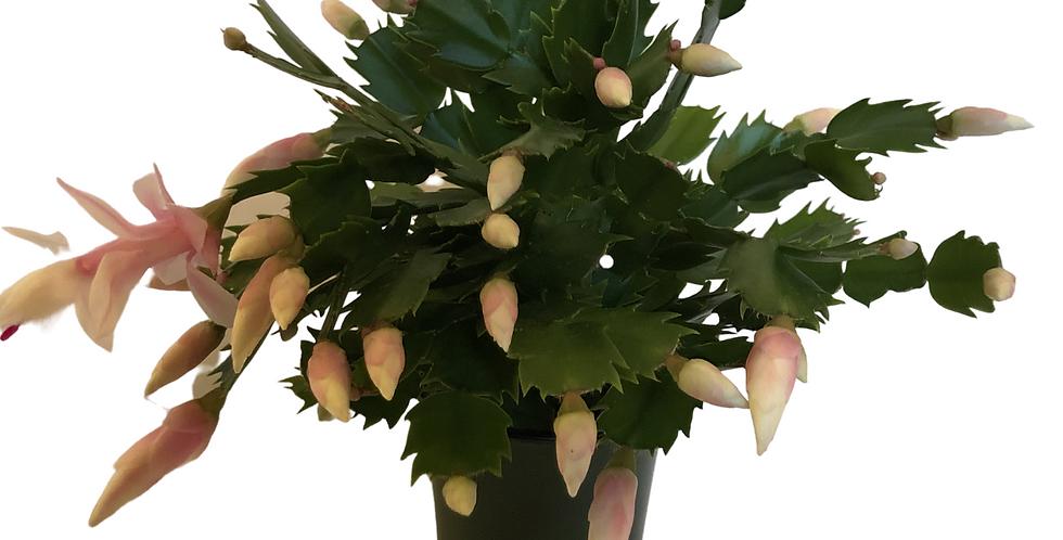 """Pink Christmas Cactus 4"""" Pot"""