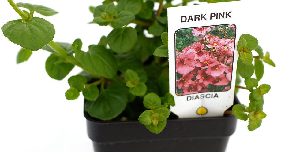"Diascia Pink 2"""
