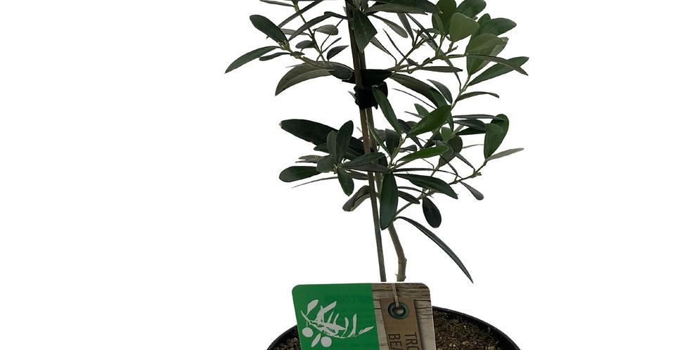 "Hardy Olive Tree- 6"" Pot"