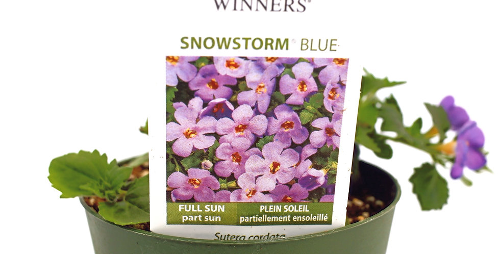 "Snowstorm Blue Bacopa- Proven Winner 4"" Pot"