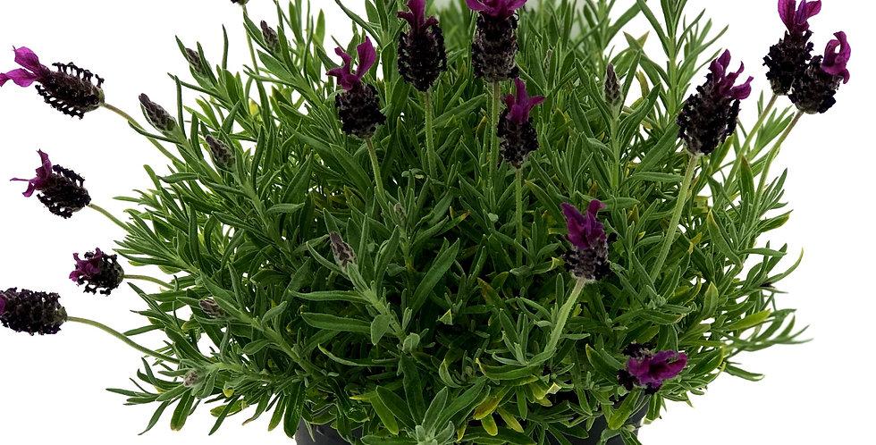 """Lavender 6"""" Pot"""