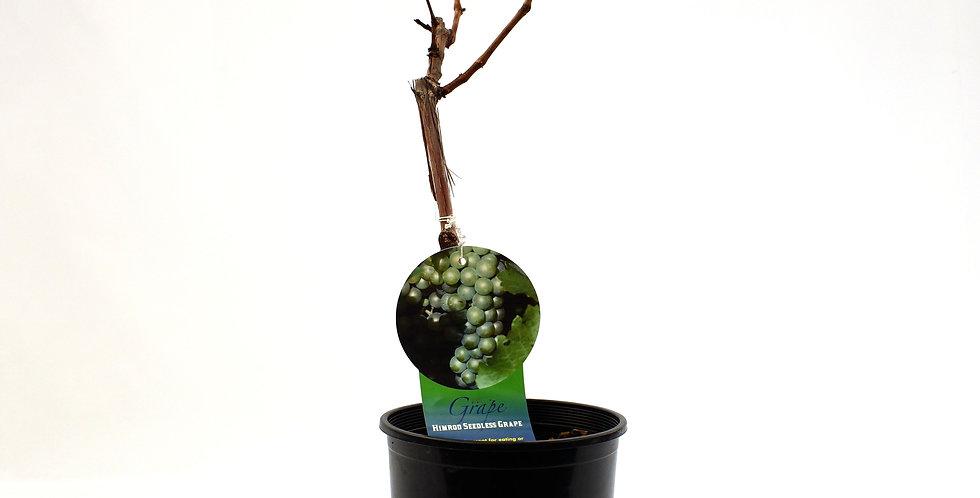 Grape Himrod Seedless- Fruit Brush