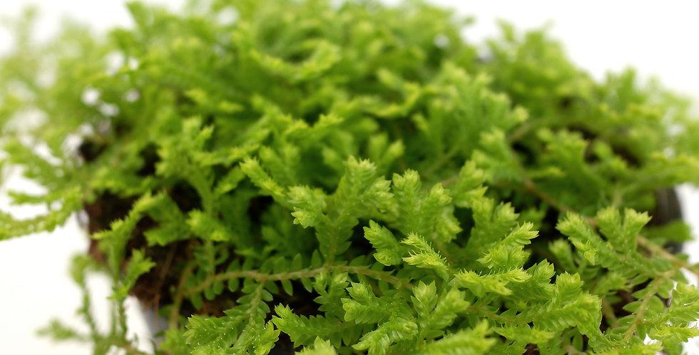 """Tropical Green Moss 4"""" Pot"""