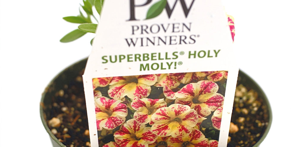 "Superbells Holy Moly! Calibrachoa Hybrid Pink Yellow Mottled- 4"" Pot"