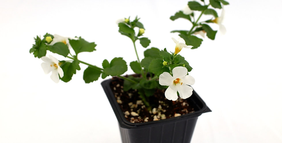 Bacopa White 2""
