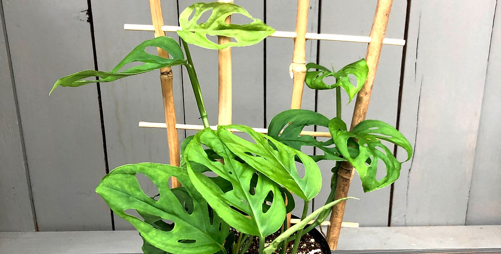 "Monstera Bamboo Trellis- Swiss Cheese 6"" Pot"