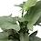 "Thumbnail: Silver Sword Philodendron 10"" Pot"