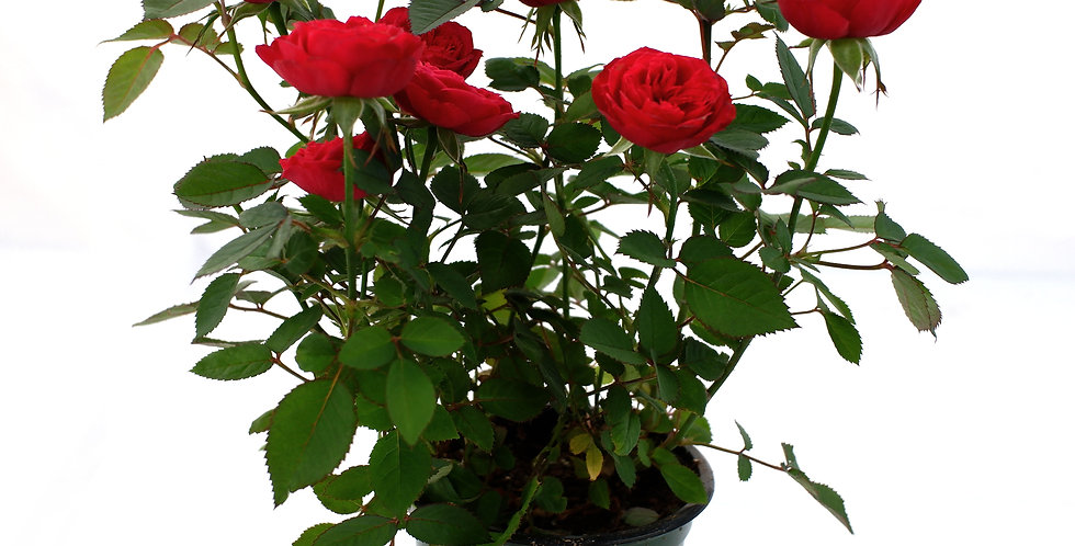 "Miniature Rose Red- 4"" Pot"