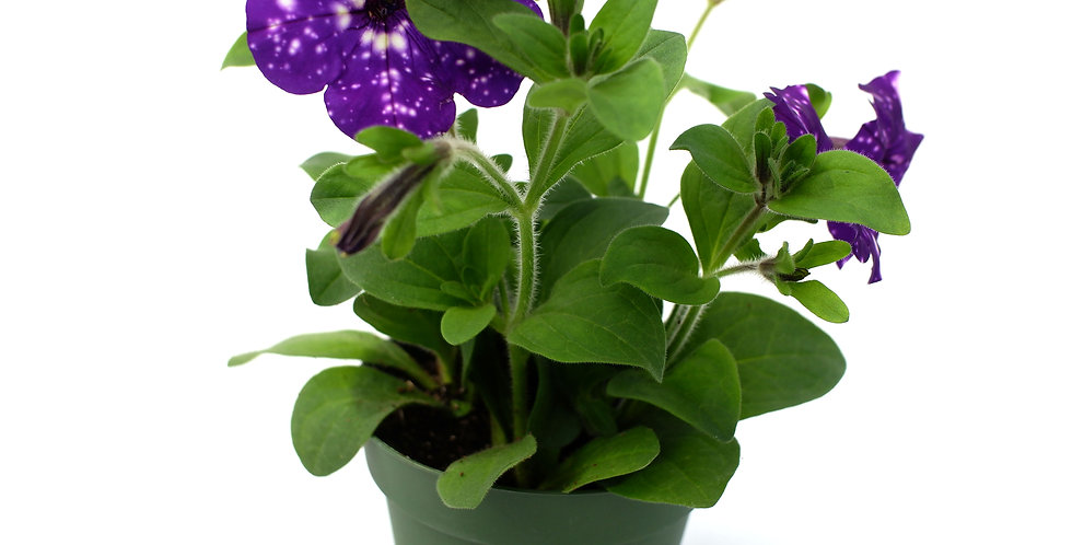 "Petunia Purple 4"""