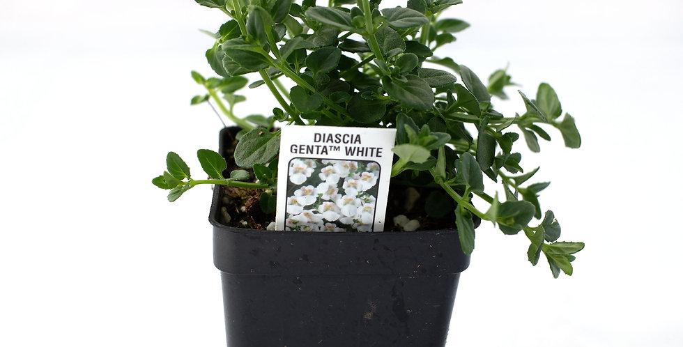 """Diascia White 2"""""""
