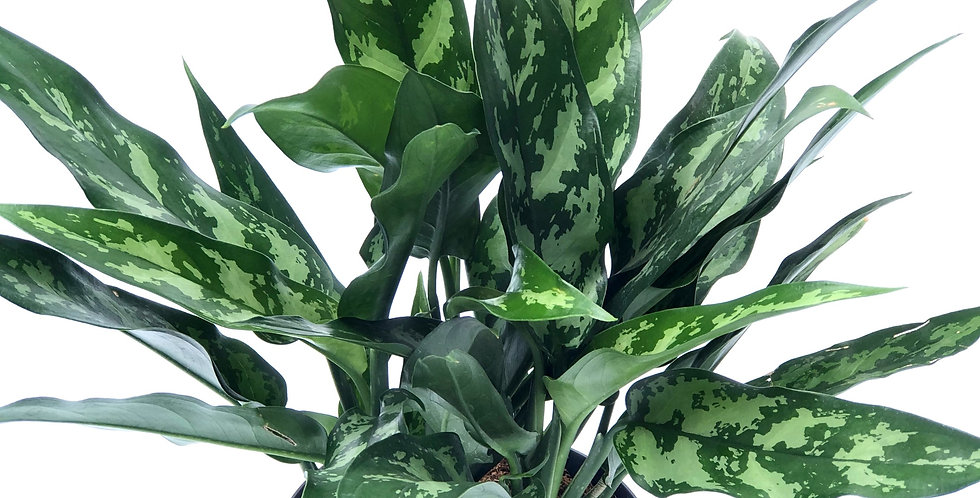 "Chinese Evergreen 6""Pot"