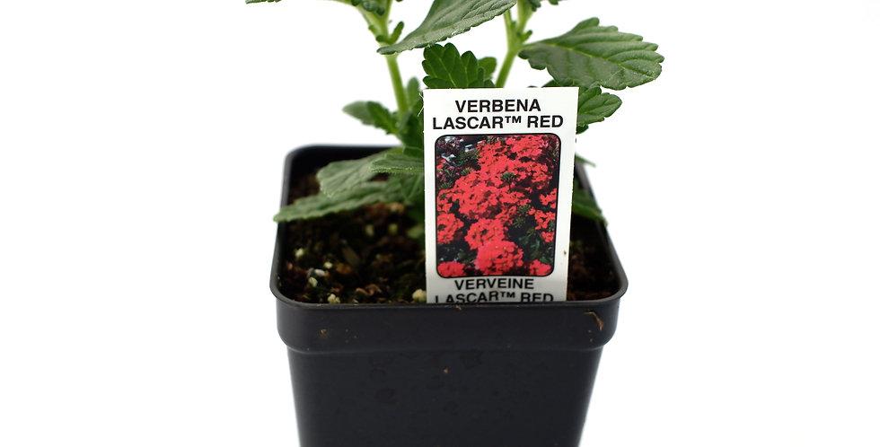 "Verbena Lascar Red 2"""