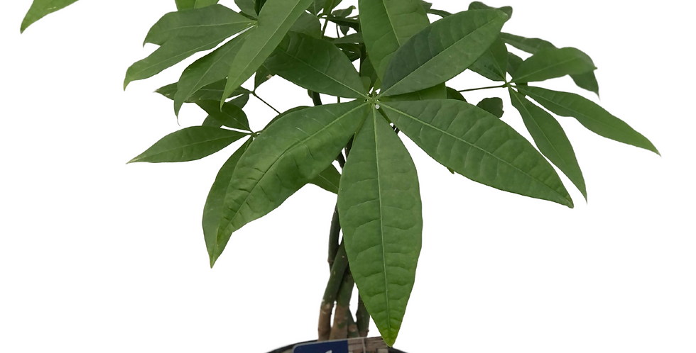 "Money Tree Pachira-6""Decorative Pot"