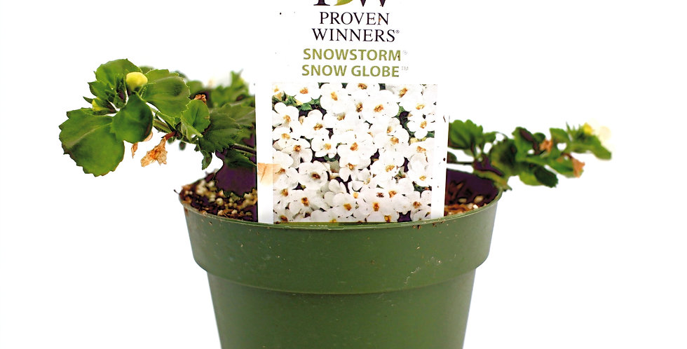 "Snowstorm Bacopa- Proven Winner 4"" Pot"