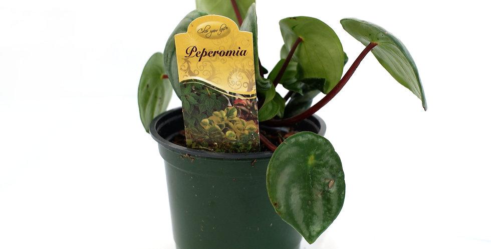 "Peperomia 4"" Pot"