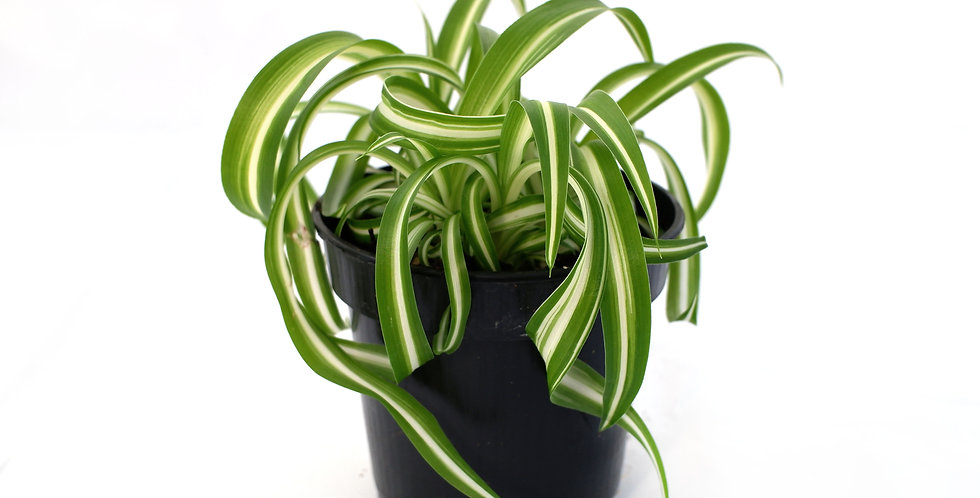 "Spider Plant 4"" Pot"