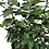 Thumbnail: Lime Tree- 3 Gallon