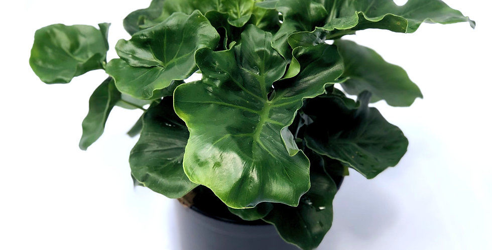 "Super Atom Philodendron 6"" Pot"