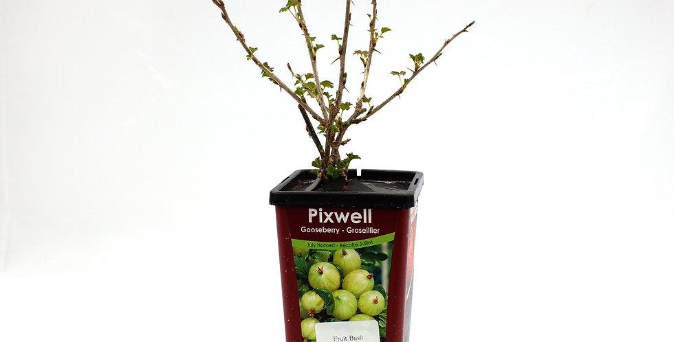 Gooseberry - Fruit Bush