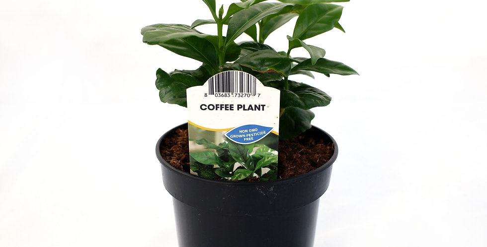 "Coffee Plant 4"" Pot"