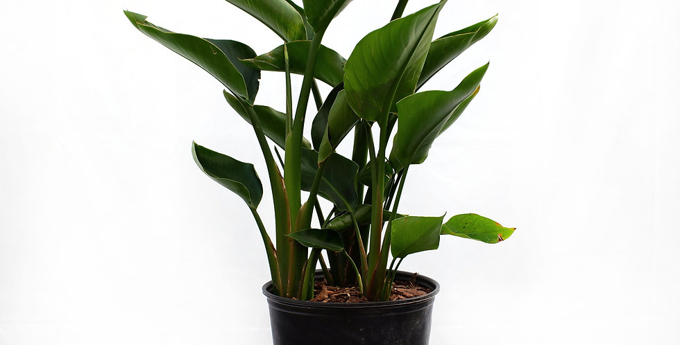 "Bird of Paradise 12"" Pot"