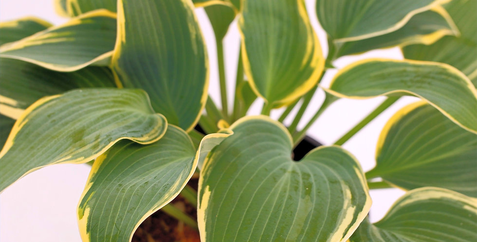 Hosta- Plantain Lily- Patriot- 1 Gallon
