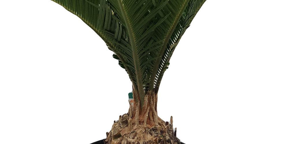 """Sago Palm 6.5"""" Pot"""