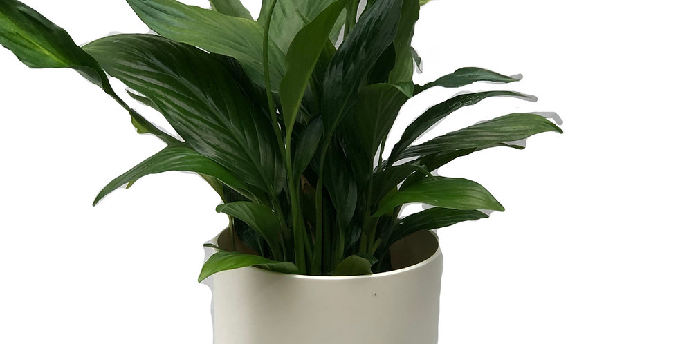 Peace Lily Decorative Pot 6""