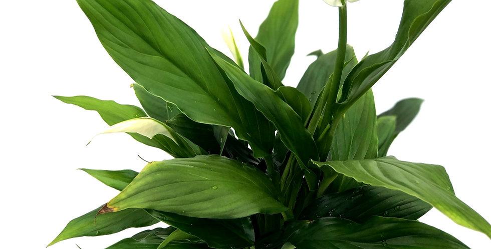 """Peace Lily 4"""" Pot"""